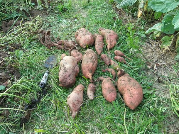 Sweet potatoes. Photo by Vmenko on Wikimedia Commons.